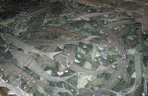 rex-m-ras-growout-sturgeon-stoer-kreislaufanlage-kaviar-caviar-aquakultur-aquaculture