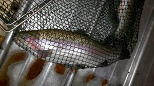 REX-M RAS Forelle trout regenbogenforelle salmonide salmonids радужная форель